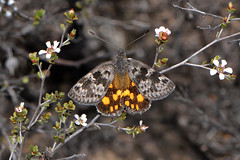 Sun Moth