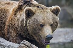Brown bear quite close