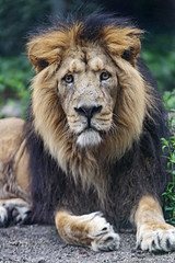 The male Asiatic lion posing well