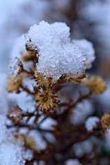 Aster in Snow