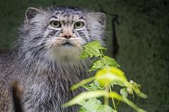 Pallas cat looking a bit shy