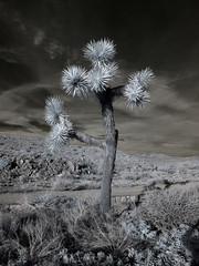 Joshua Tree at Pioneertown Mountains Preserve (0543)