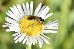 Native bee in garden