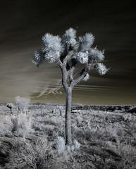 Joshua Tree at Pioneertown Mountains Preserve (0549)