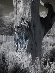 Big Morongo Preserve (0534)