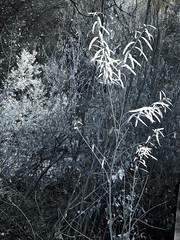 Big Morongo Preserve (0468)