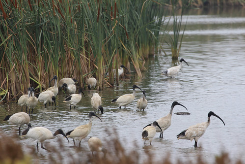 Ibis on Coomaditchie Lagoon