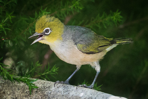 A Silvereye dealing with the heat