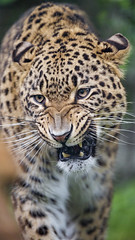 Angry male leopard