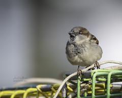 Harbor Sparrows