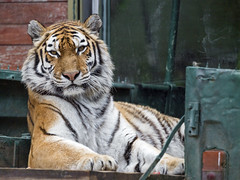 Tigress on the back of the car, looking at me