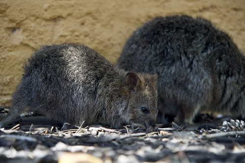 Quokkas - Rottnest Island, Australia