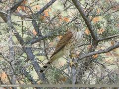 Shikra (Accipiter badius)