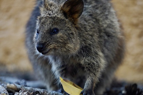 Quokka - Rottnest Island, Australia