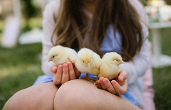 A young girl holding three yellow chicks outdoors