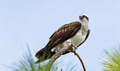 Osprey in Winter -- Welcome to Florida