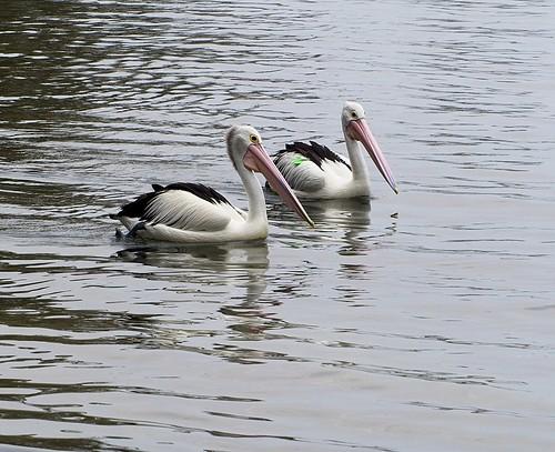 7/366 A pair of Pelican glide bye