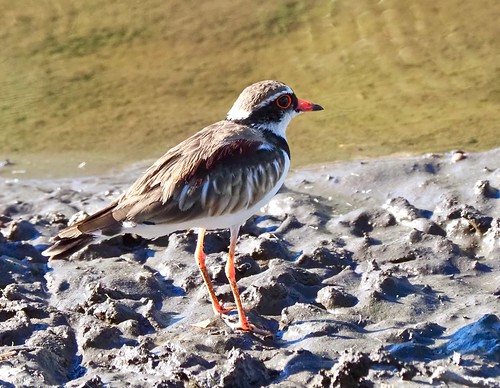 Black-fronted Dotterell