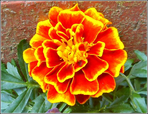 """French Marigold""   Close-Up ..."