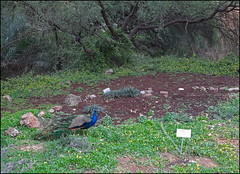 Peacock_20200107_132539a