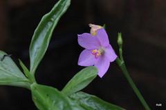 Talinaceae