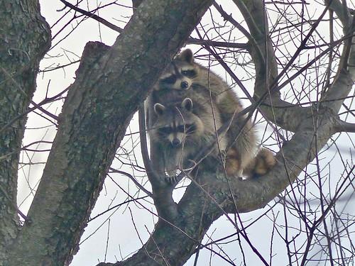 Common Raccoon Pair (Procyon lotor)