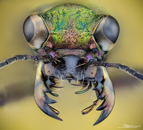 Cicindela Campestris (escarabajo tigre)
