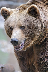 Another nice portrait of the brown bear