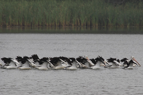 Pelicans at Coomaditchie Lagoon