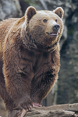 The brown bear walking on the log