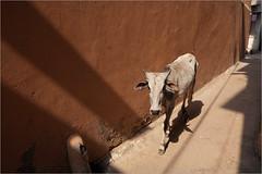 holy cow!, bundi