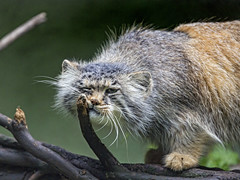 Pallas cat rubbing against the branch