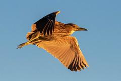 Juvenile Black-Crowned Night-Heron Inflight at Sunset