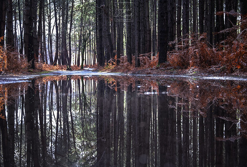 After the rain in pine tree forest