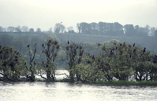 Cormorants in Lough Ree