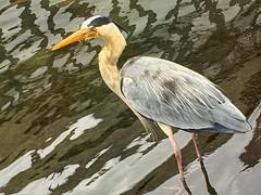 Grey Egret, Hyde Park, London, England