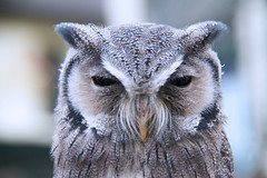 African White-faced Scops Owl, Lake District,  Cumbria, England