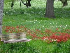 Bench Among the Daffodils
