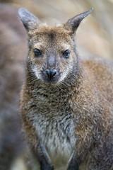 Bennett's kangaroo looking at me