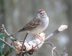 chipping sparrow6