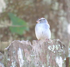 chipping sparrow8