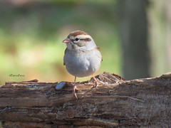 chipping sparrow13