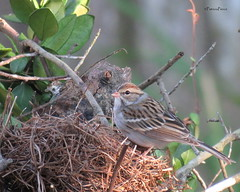 chipping sparrow14