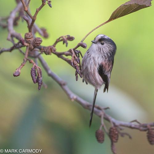 Long-tailed Tit/Meantán earrfhada (Aegithalos caudatus)