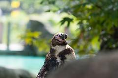 Humboldt Penguin At London Zoo
