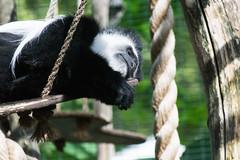 Colobus Monkey At London Zoo
