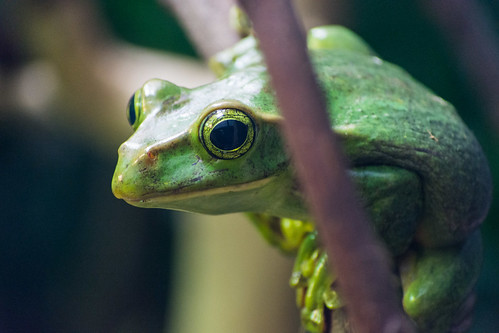 Tree Frog At London Zoo