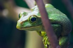 Tree Frog At London Zoo