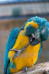Blue-Throated Macaw At London Zoo