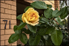 One of four PEACE Roses has bloomed-2=